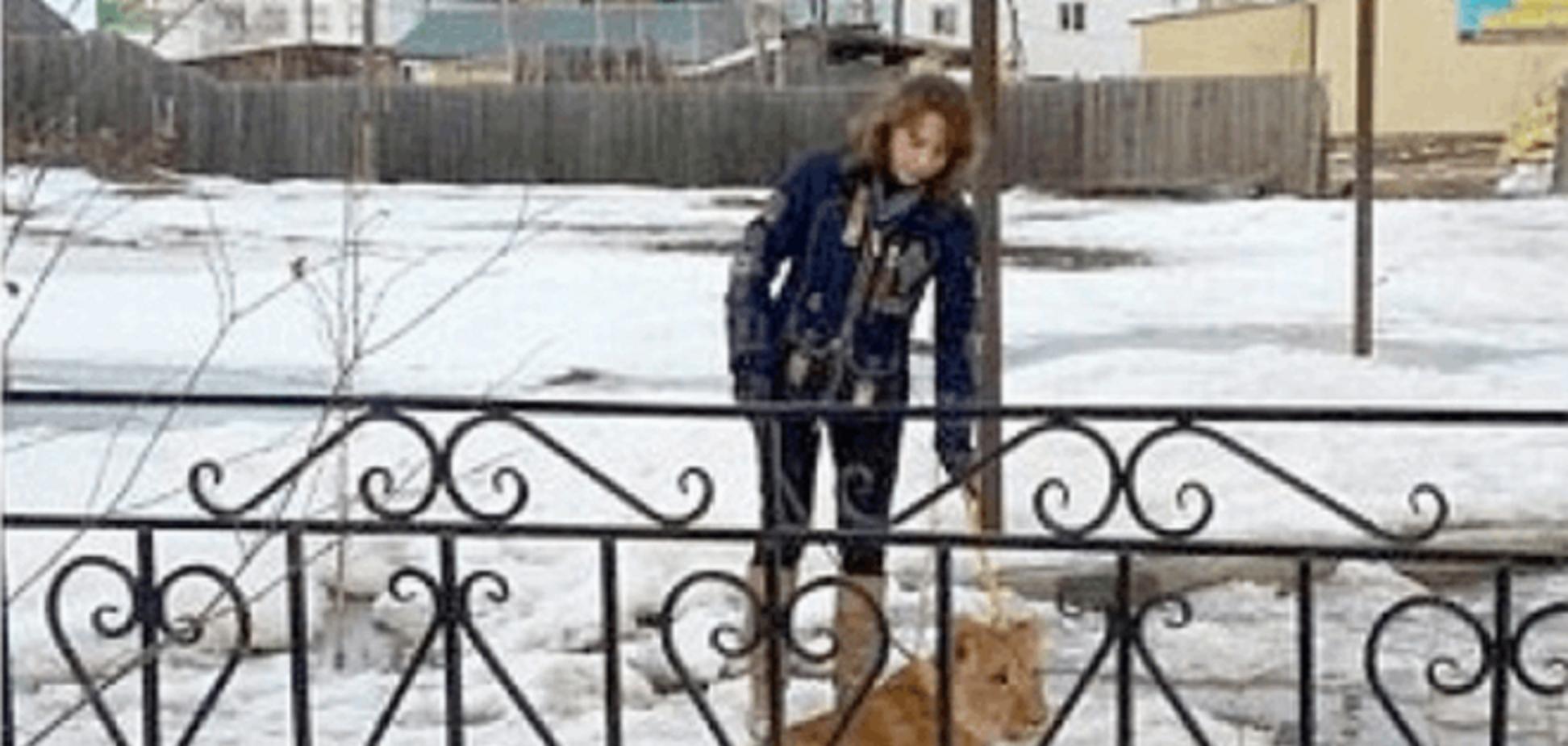 В России лев растерзал ребенка, возвращавшегося из школы: фотофакт