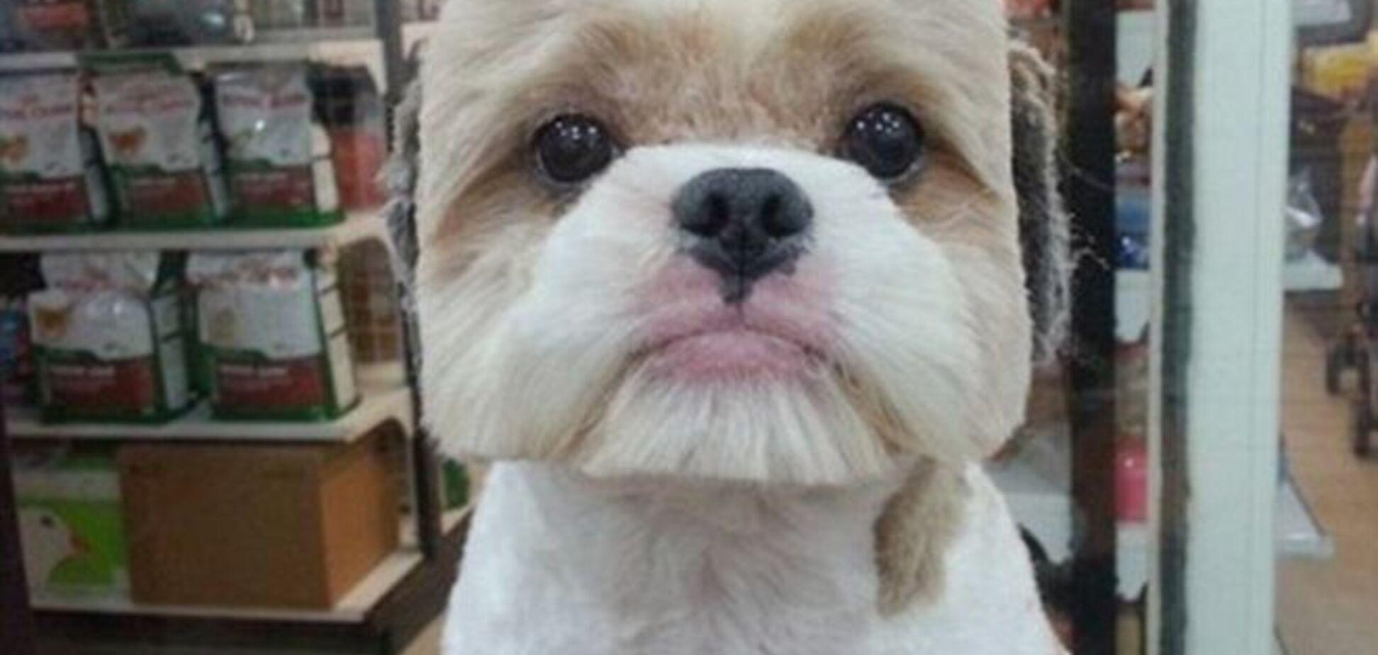 Тайванцы делают собакам квадратные прически, чтобы они стали звездами соцсетей