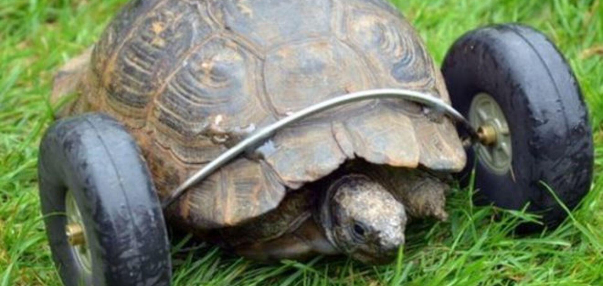 Инженер спас черепаху, прикрутив ей колеса вместо отгрызенных крысами лап