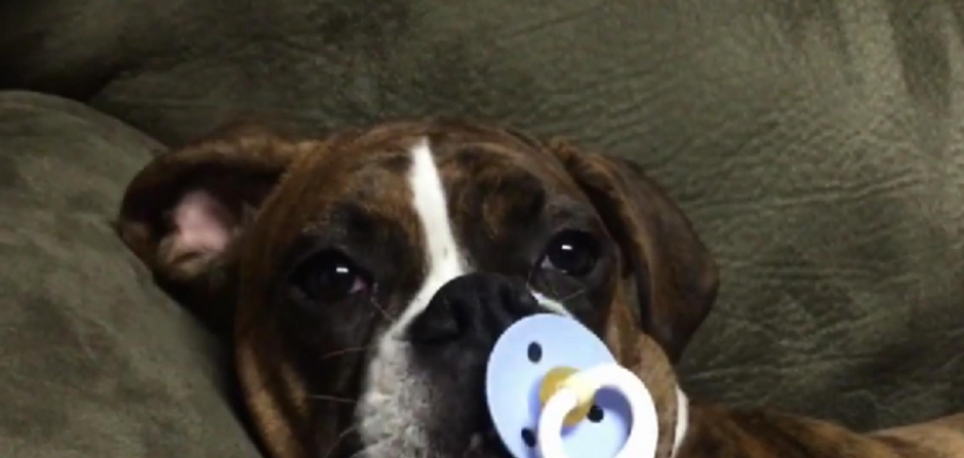 Щенок боксёра не может уснуть без соски: забавное видео