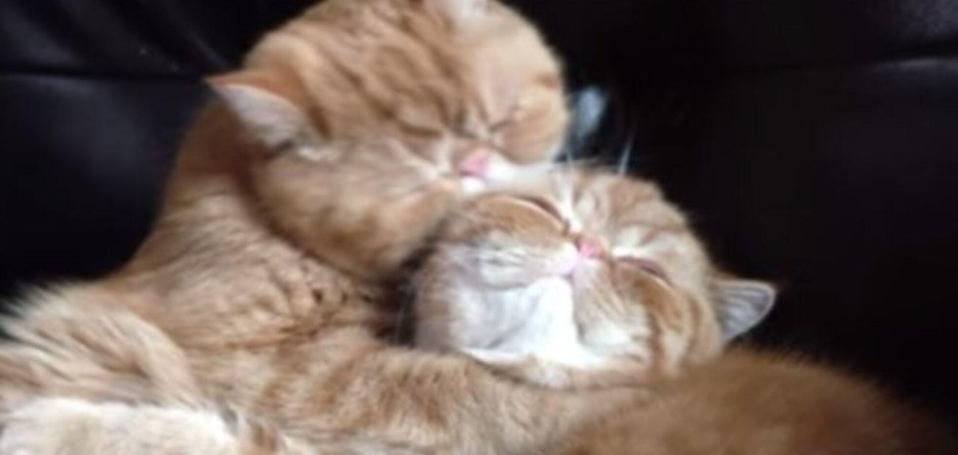 Целующиеся котики стали звездами Интернета: трогательное видео