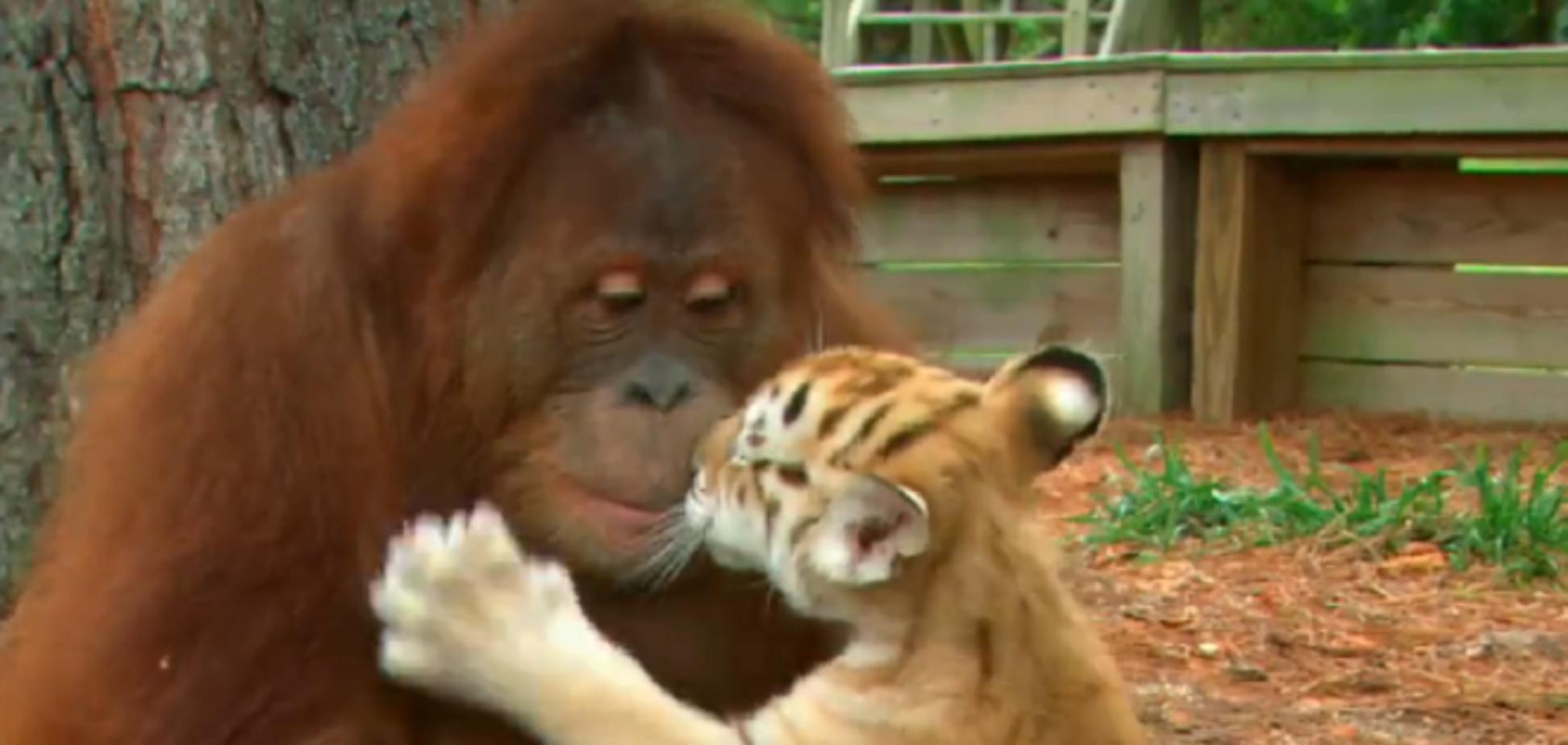 Орангутан стал мамой для тигрят и кормит их с бутылочки: видеофакт