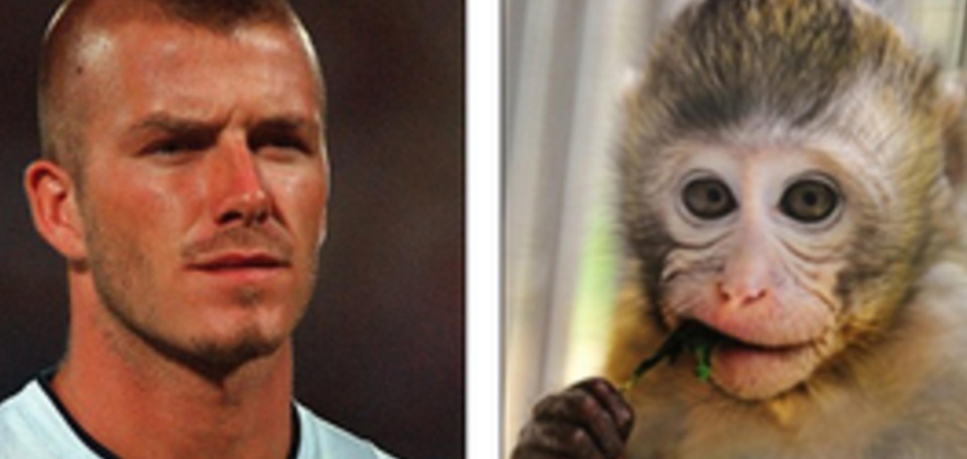 В Китае нашли обезьяну-'двойника' Бекхэма
