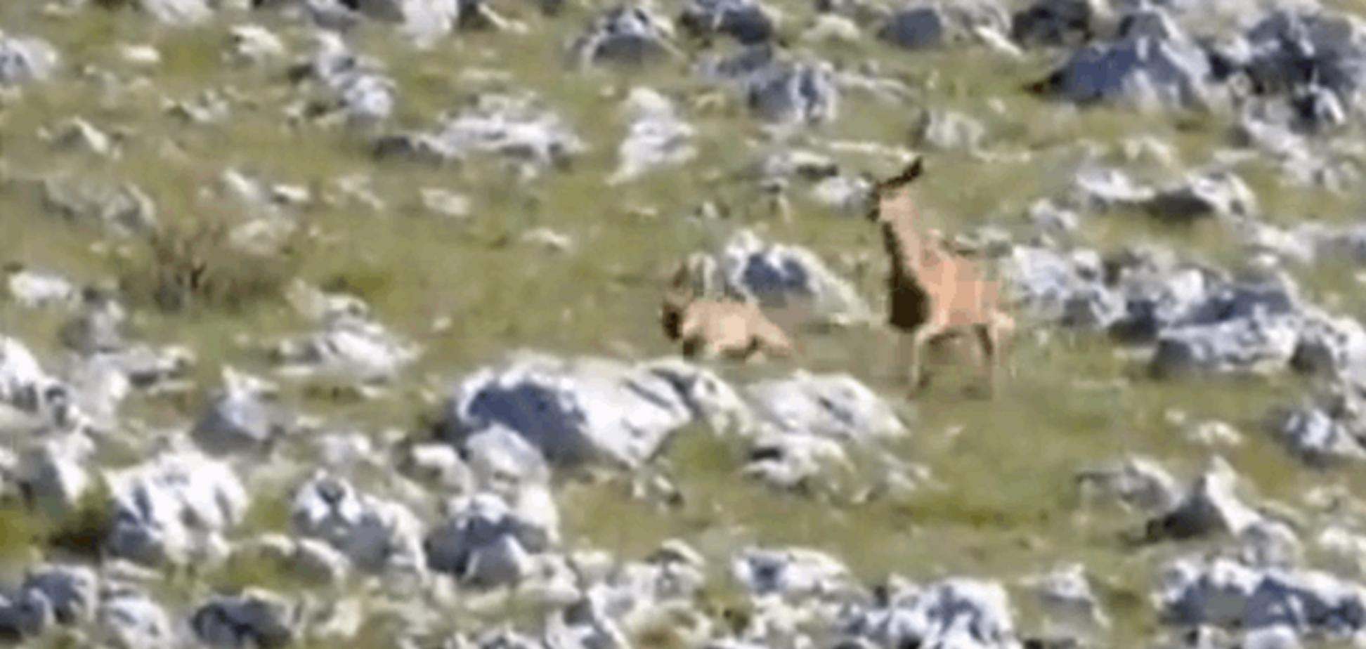 В Италии олениха прогнала напавшего на нее волка: захватывающее видео