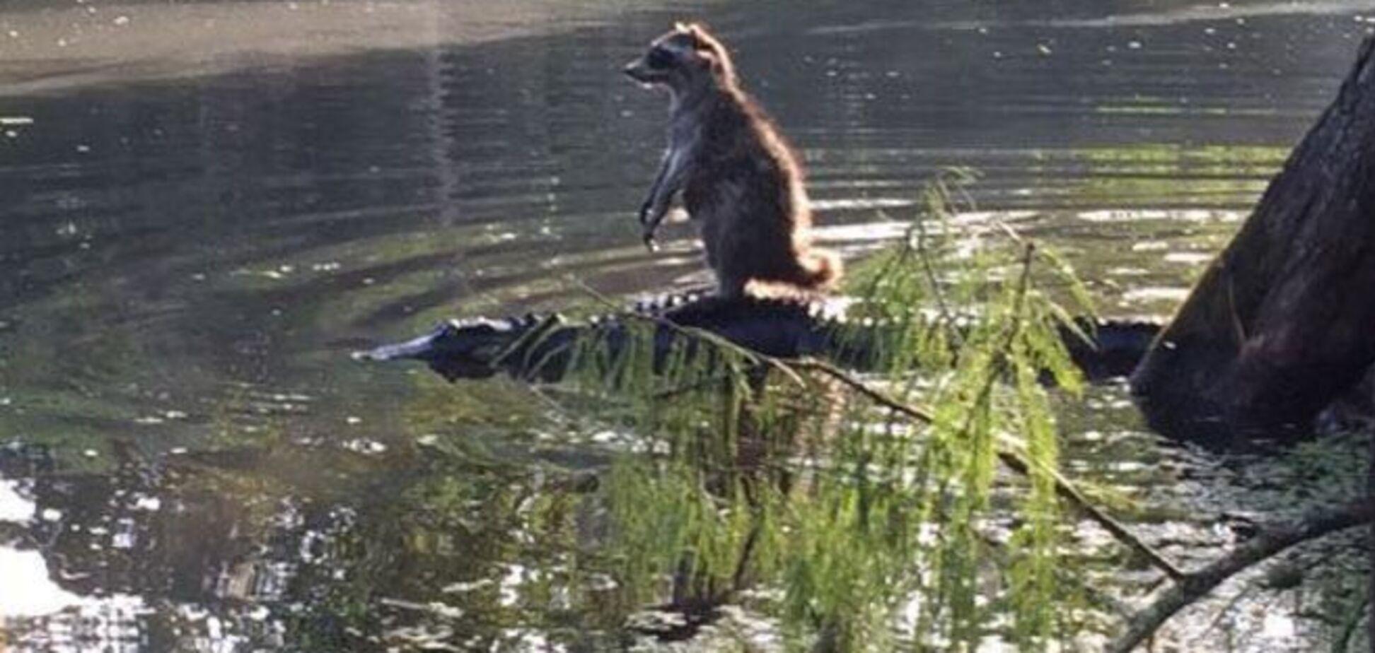 Енот, спасаясь бегством от ребенка, оседлал аллигатора: фотофакт