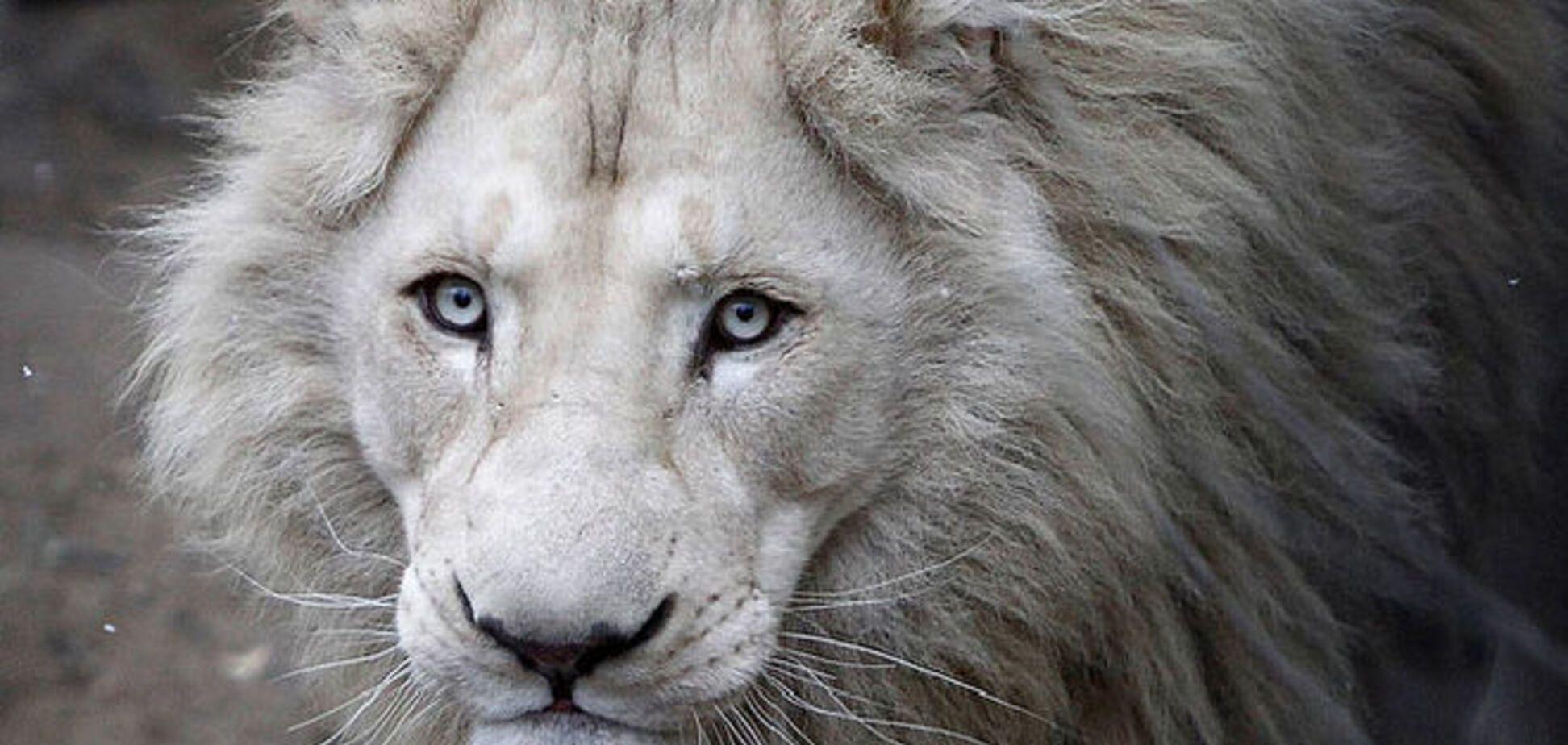 Повінь в Тбілісі: спецназ застрелив улюбленця публіки лева Шумбу