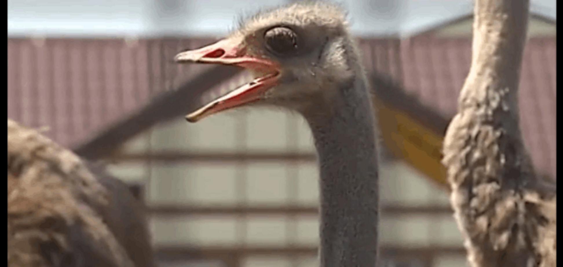 Без Януковича у страусов из Межигорья упала рождаемость