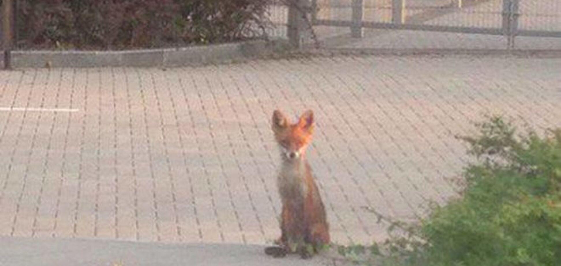 Рыжая лиса в Донецке позировала на фоне 'мертвой' Донбасс Арены: фотофакт