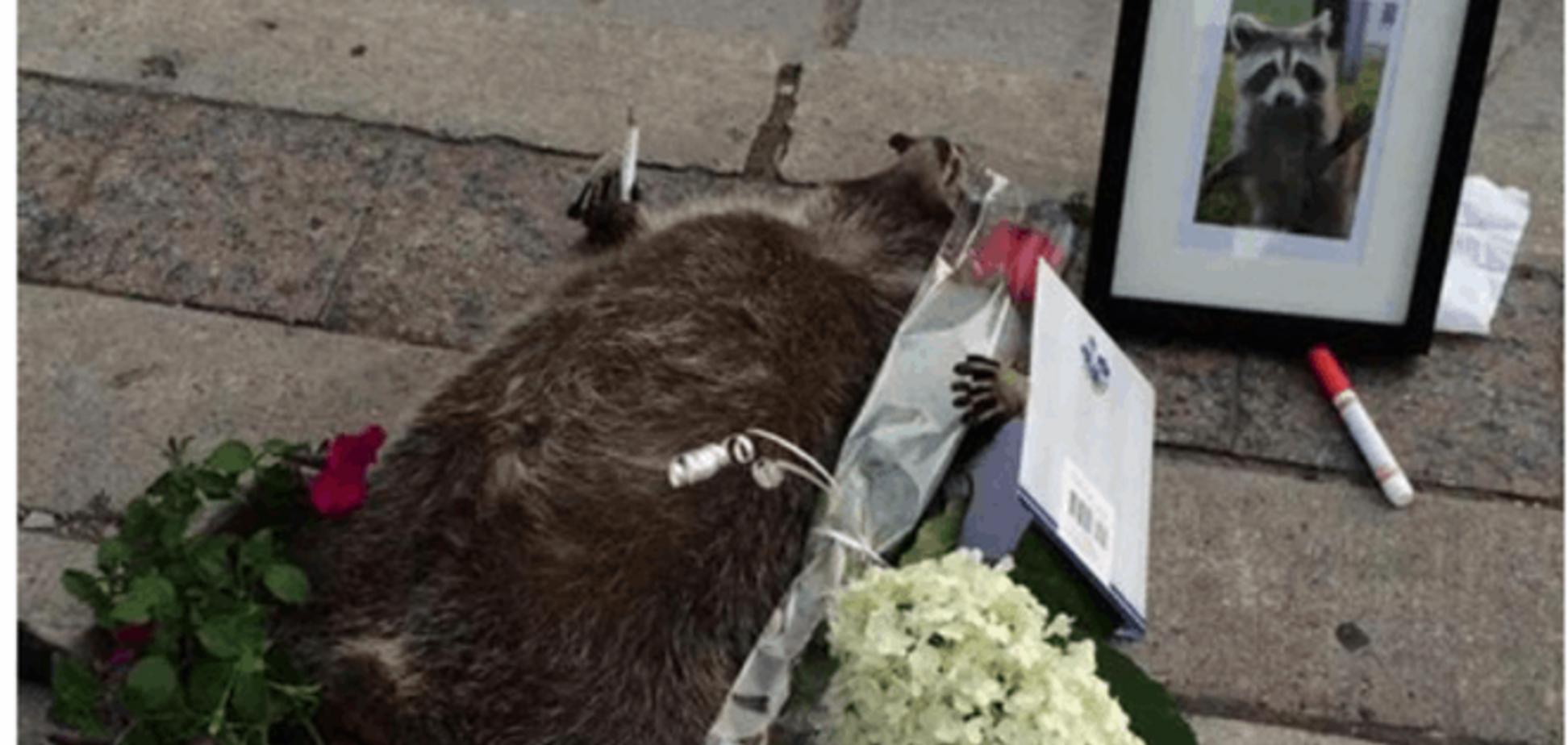 В Торонто устроили мемориал памяти умершего енота: опубликованы фото и видео