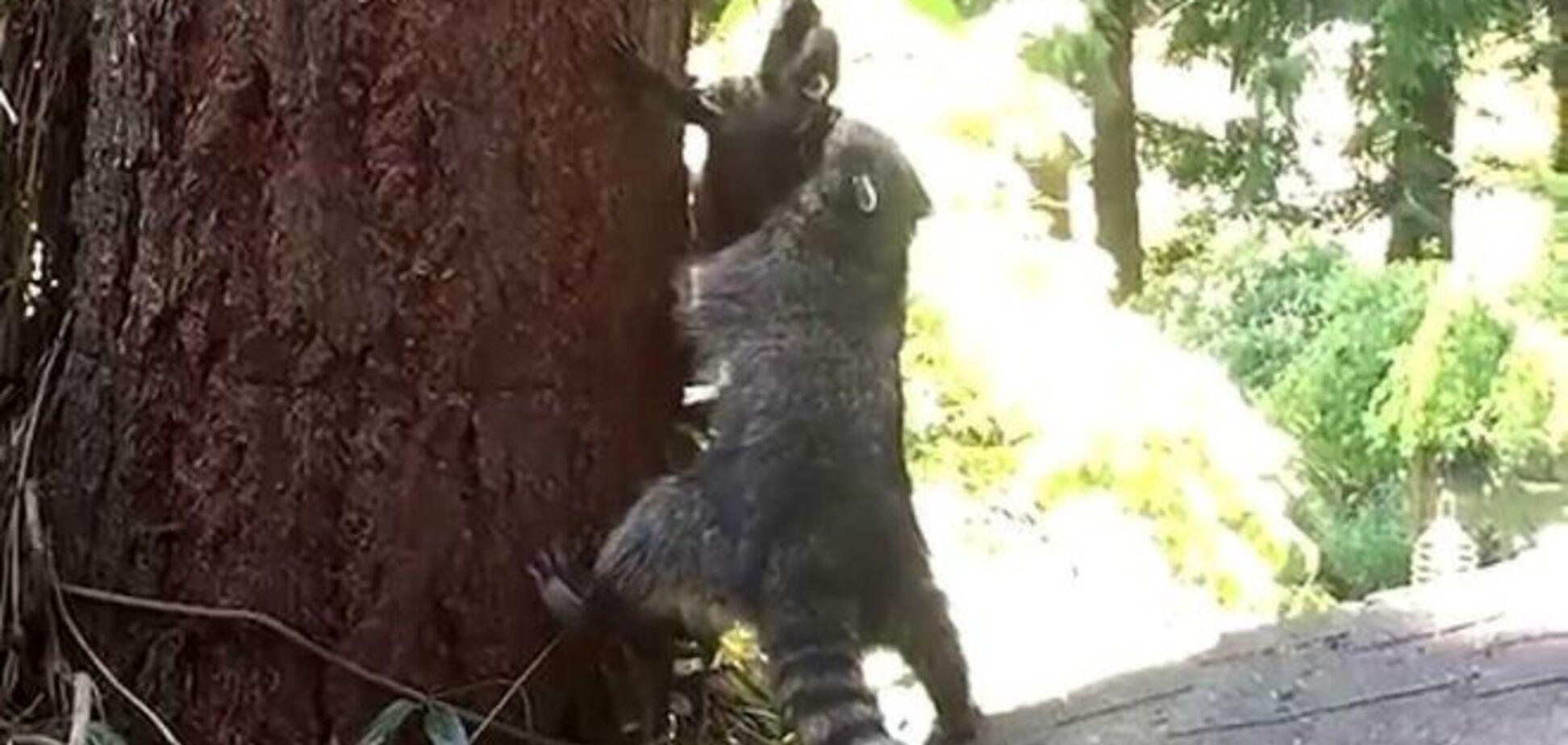 Сеть покорило милое видео, как енотиха учит детеныша лазить по деревьям