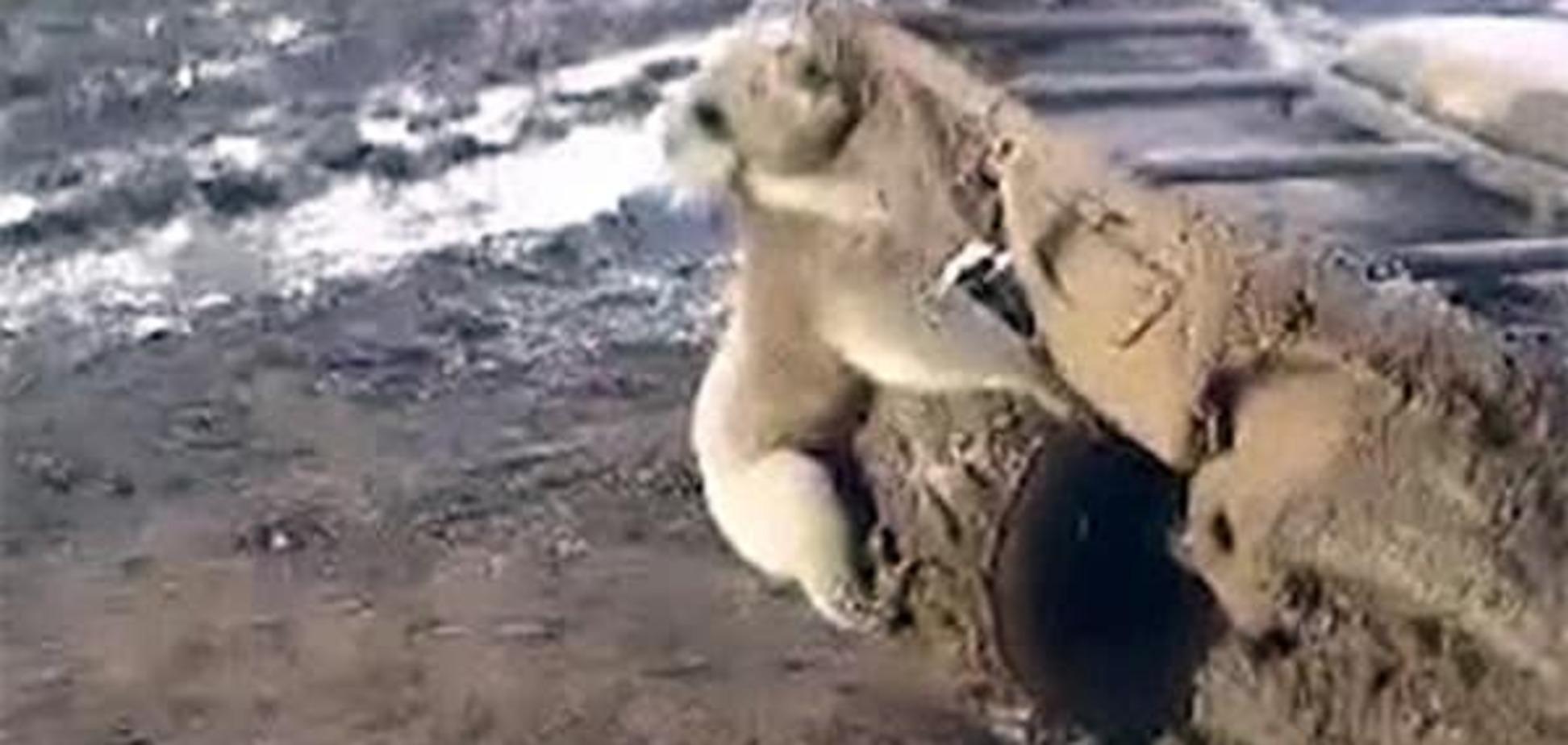В сети набирает популярности видео с безумной коалой, оседлавшей квадроцикл