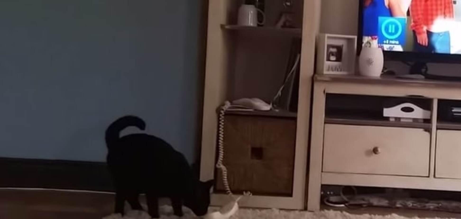 Кіт на дроті: в зірки YouTube вибивається пухнастий 'секретар' із телефоном