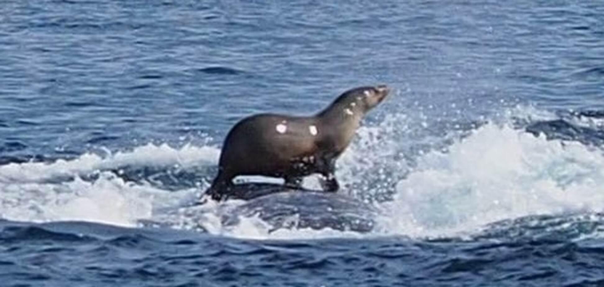 У берегов Австралии морской котик прокатился на спине у кита. Фотофакт