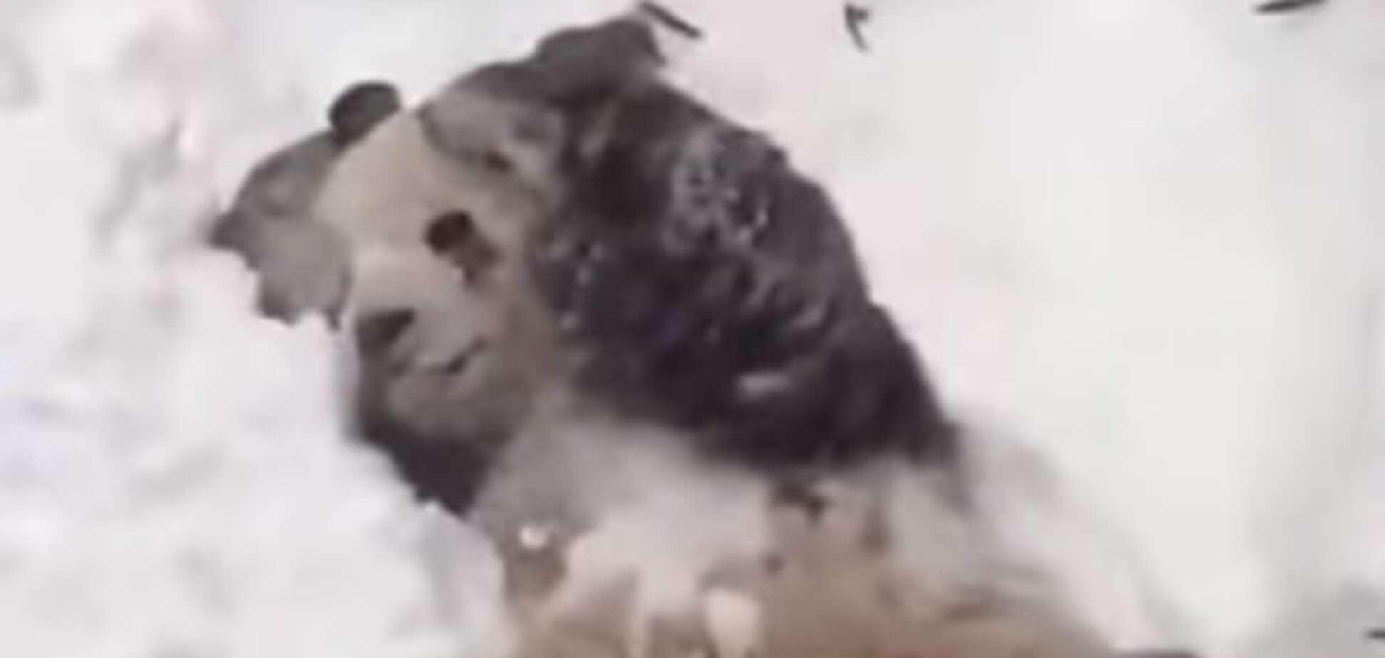 Панда пришла в восторг от снежной бури в США: видеофакт