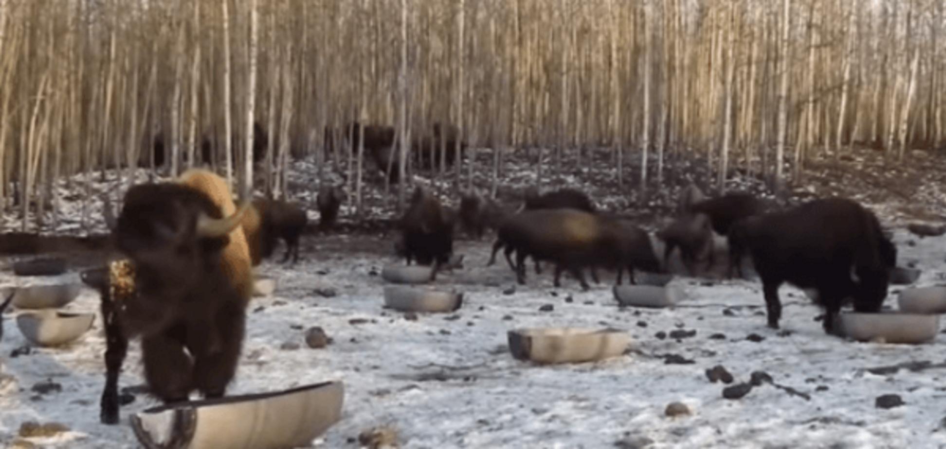 В Канаде нашли 'украиноязычных' бизонов: видеофакт
