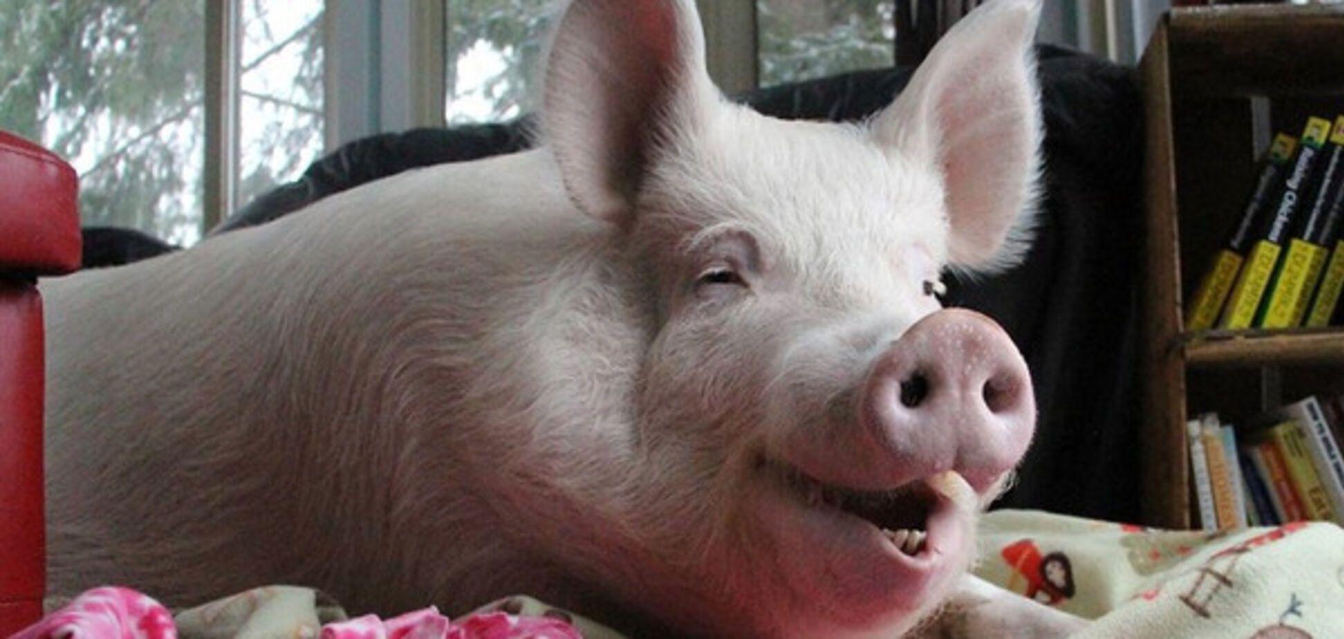 довольная свинья