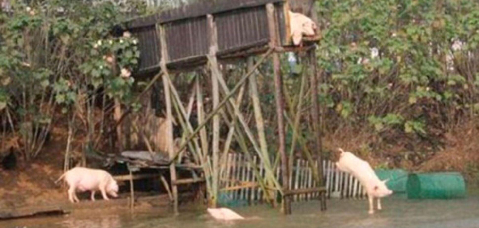Китайский фермер научил свиней заниматься спортом