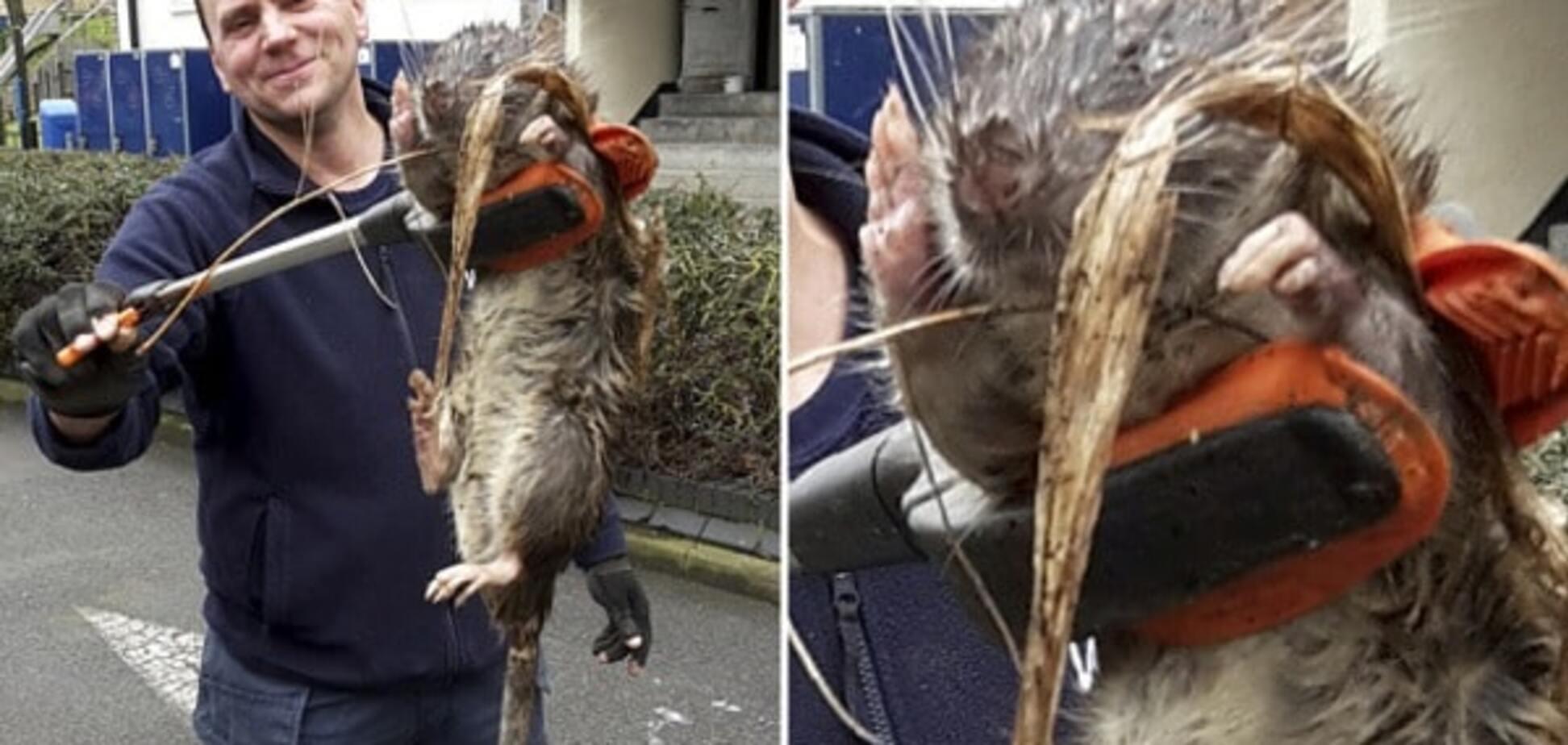 'Я такого еще не видел': в Лондоне нашли гигантскую крысу-мутанта