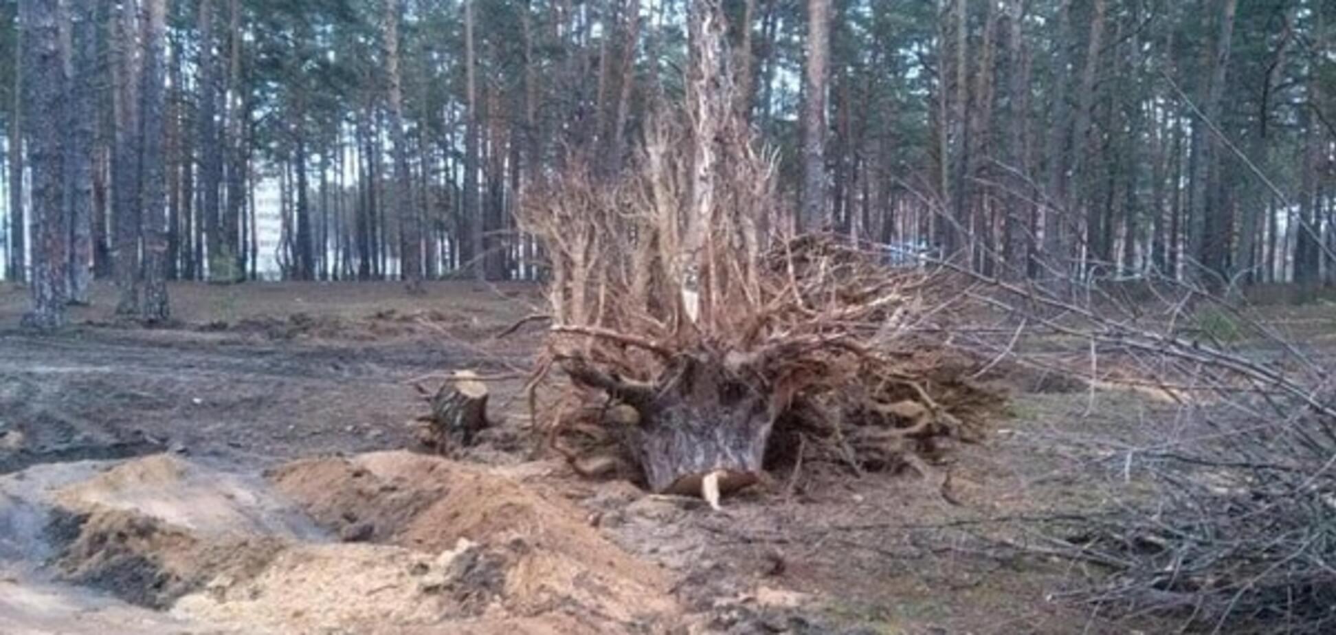 В Ирпене застройщик вырубил столетние сосны в парке, жители готовят акцию протеста