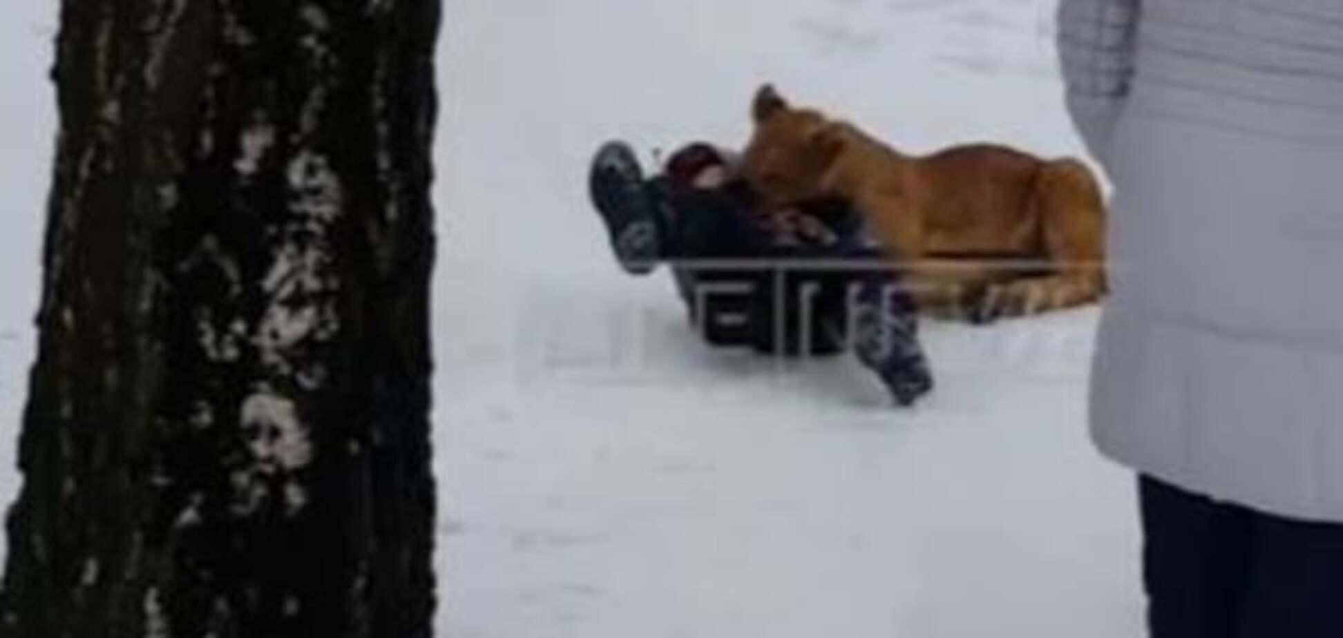 В России львенок напал на ребенка. Опубликовано видео