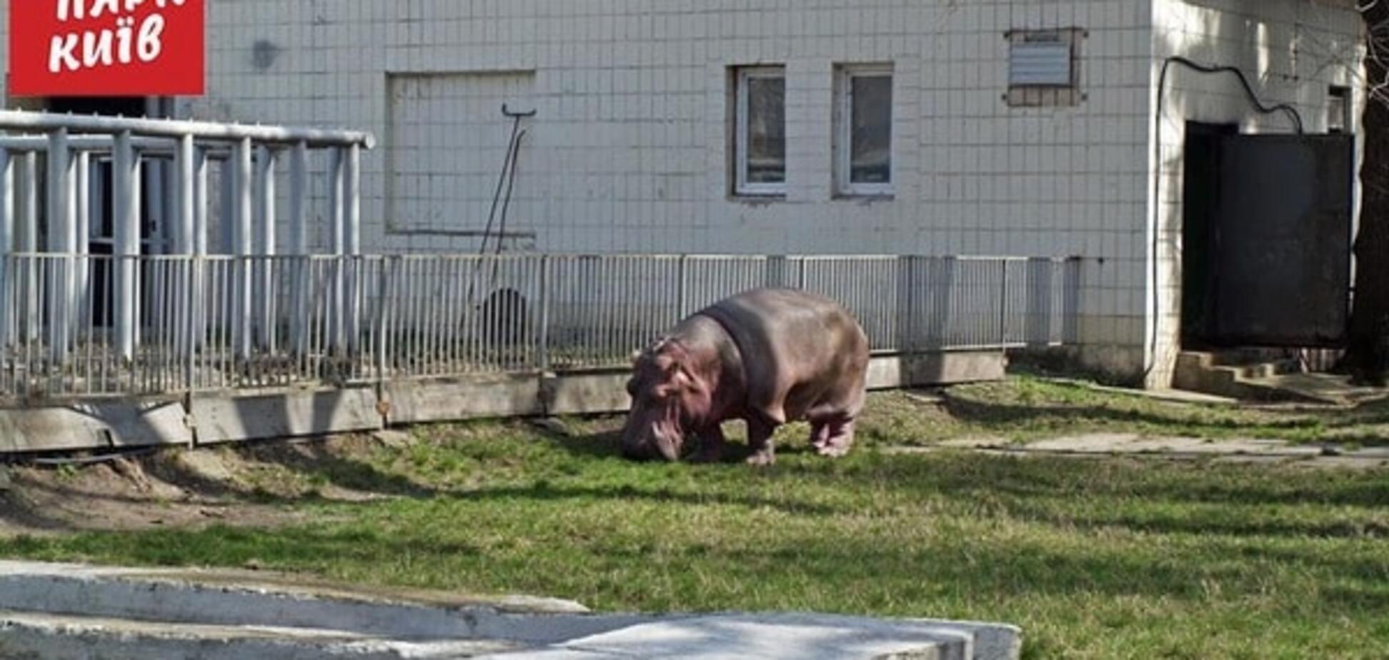 У київському зоопарку бегемотиха-пенсіонерка вийшла на прогулянку: опубліковані фото