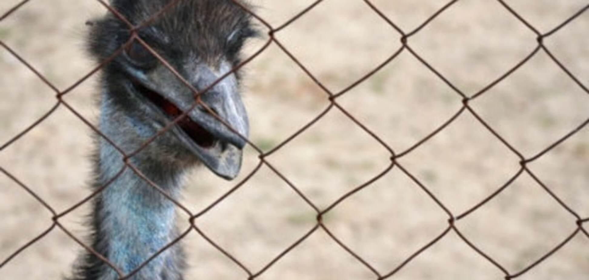 У Росії заарештували страусів за борги господаря
