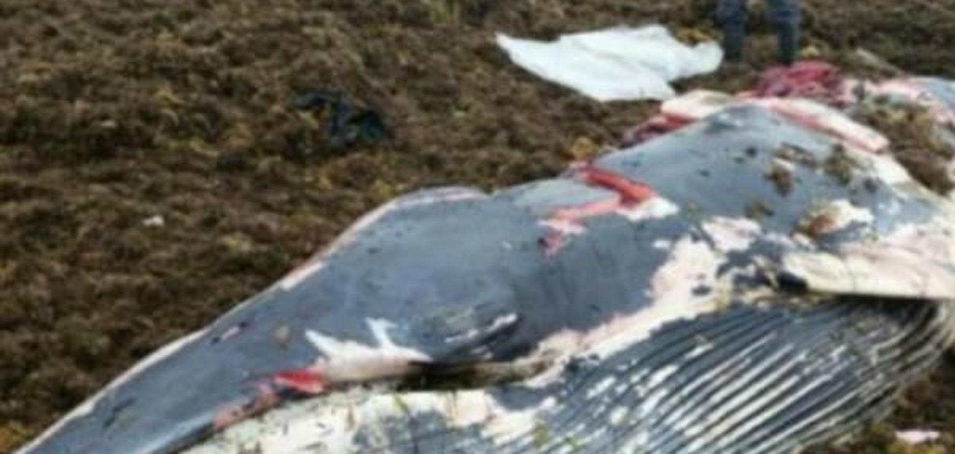 Вместо спасения: в России люди съели выбросившегося на берег кита. Опубликованы фото 18+