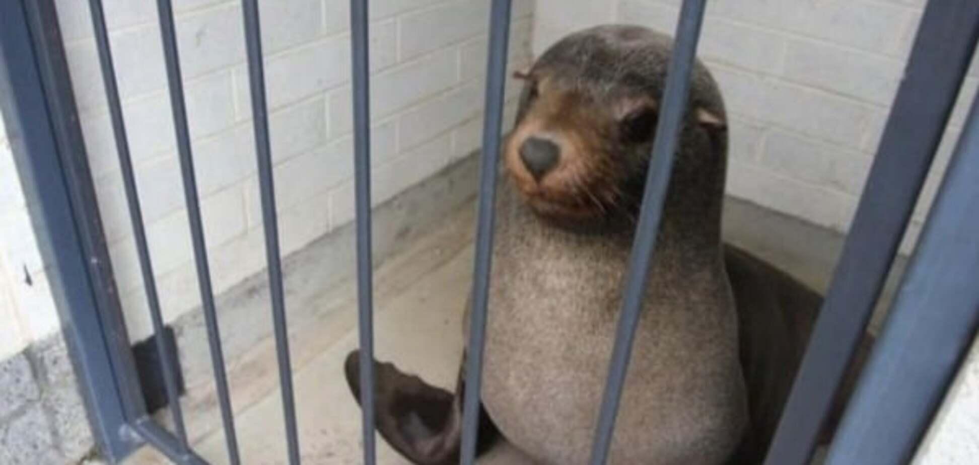 В Тасмании 120-кг тюлень уснул в женском туалете. Фото