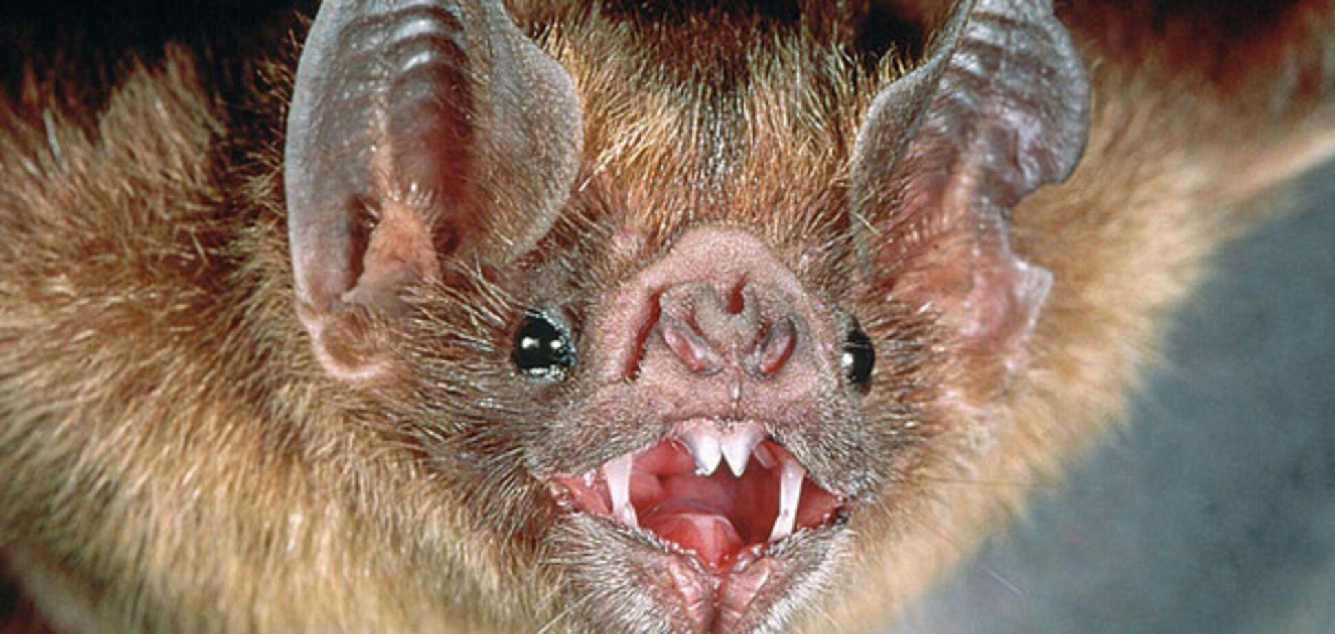 Мохноногий вампира, летучая мышь-вампир