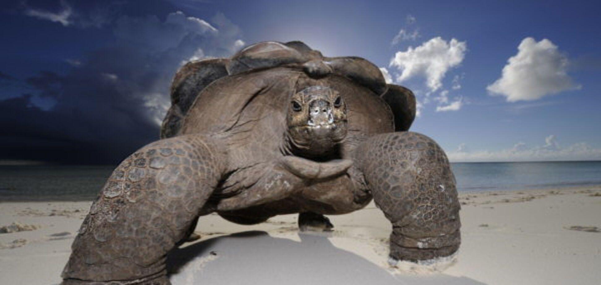 огромная черепаха