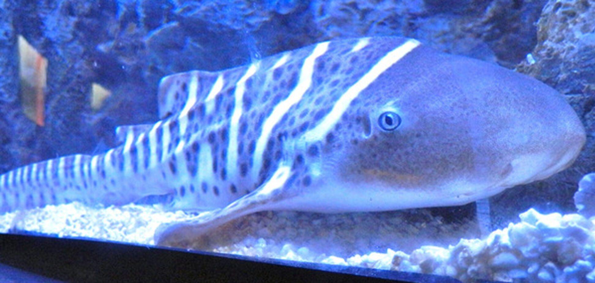 Самка зебровой акулы
