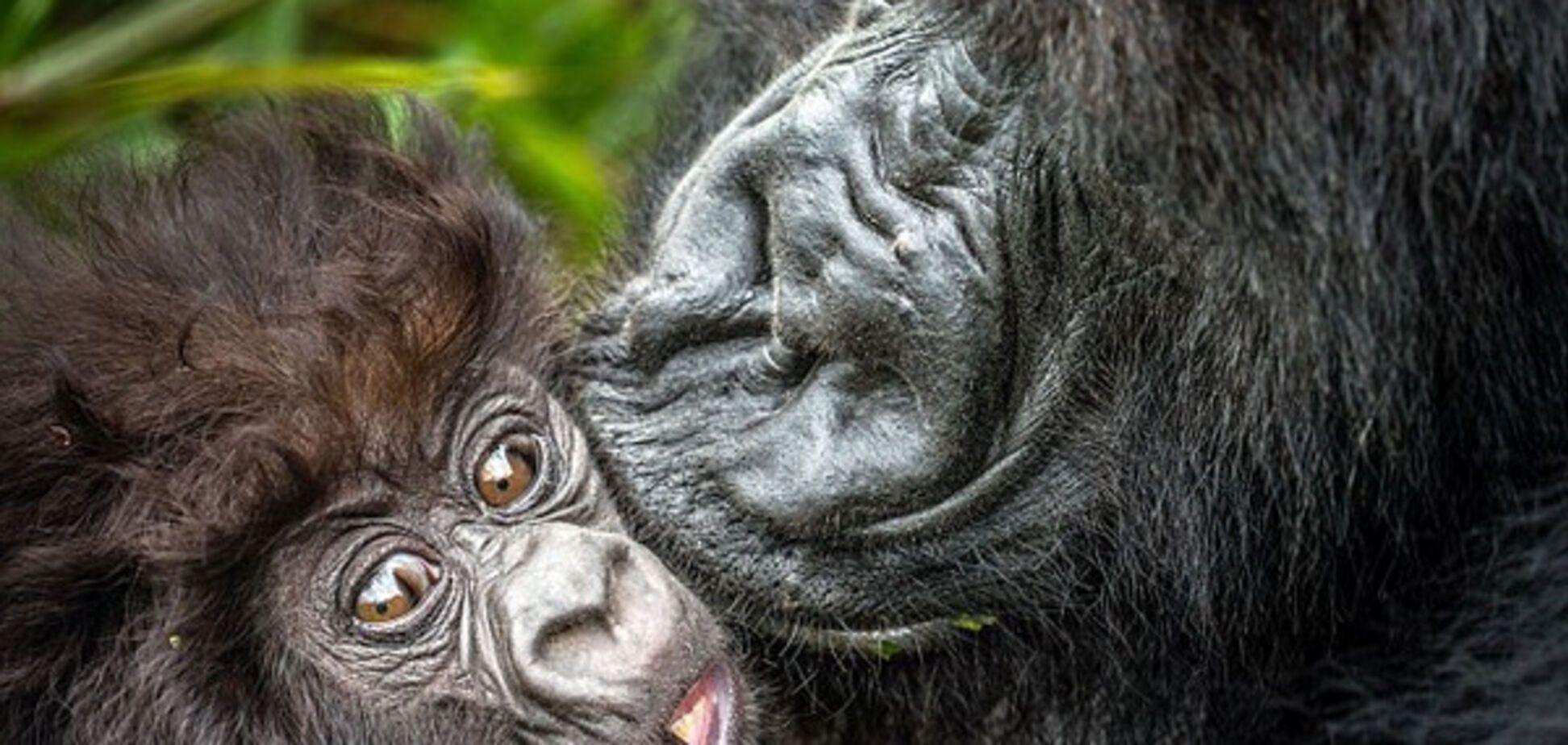 горила-мама с нежностью цедует малыша