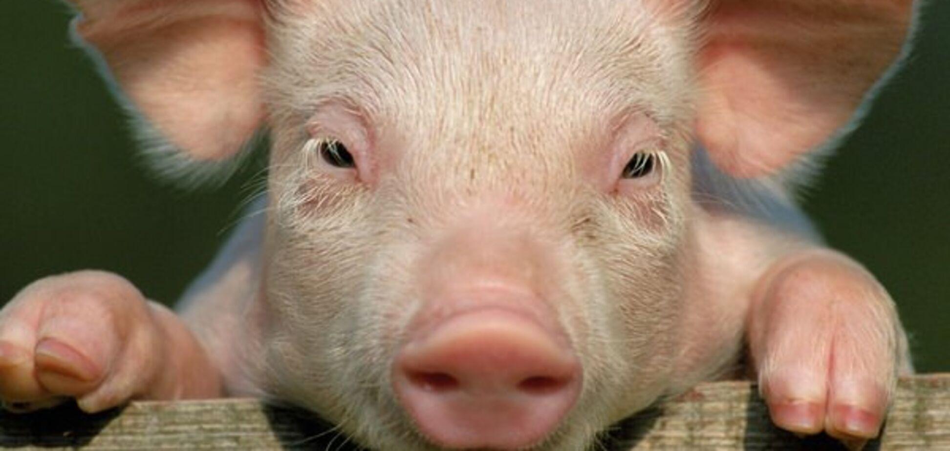 Как мертвая свинья изменила мировую историю