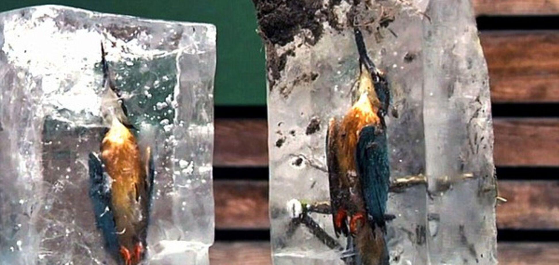 Зимородки, птицы, лед