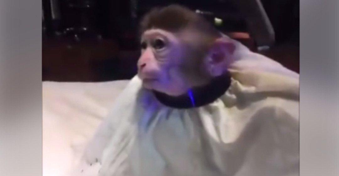 обезьяна в парикмахерской картинки сковороду