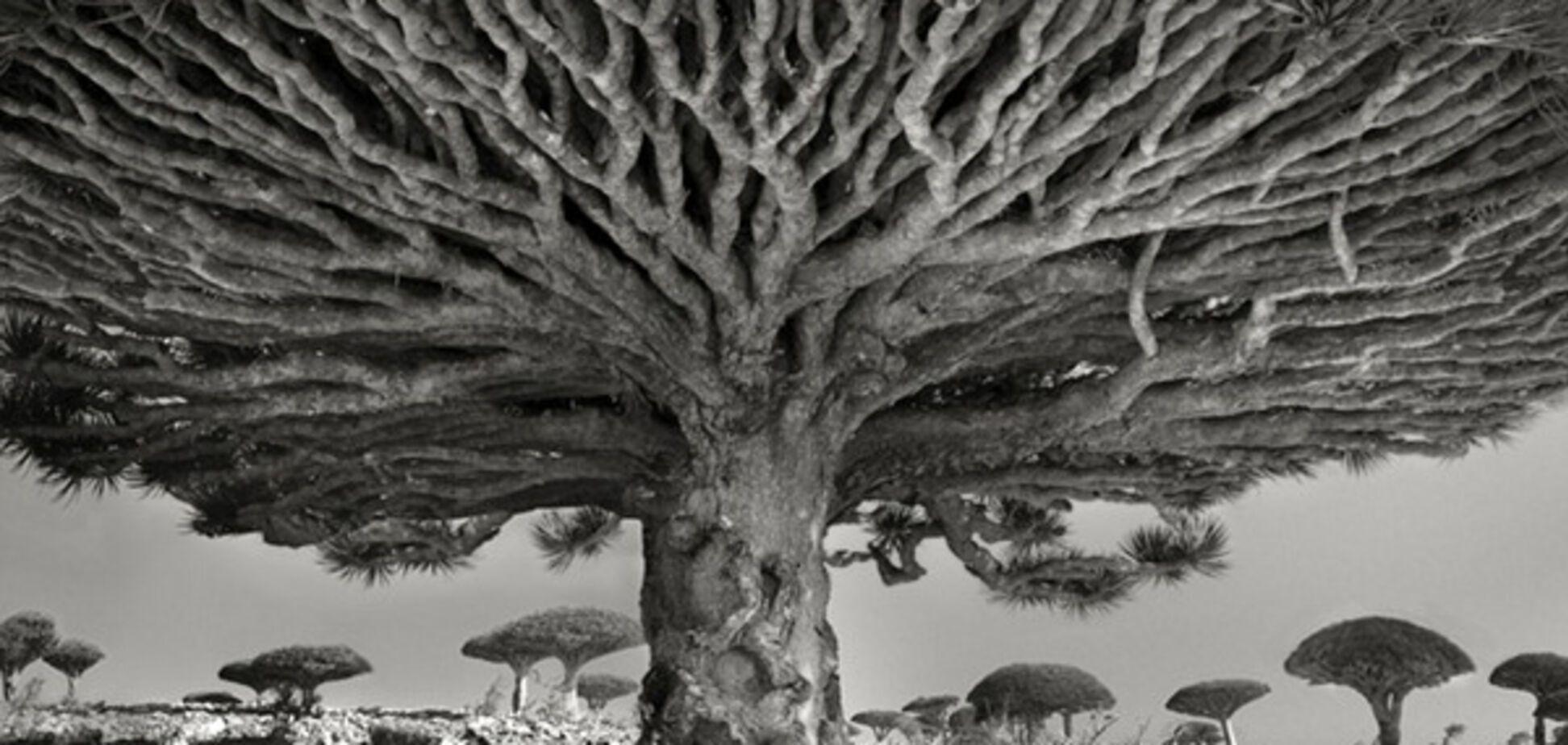 Драцена, дерево