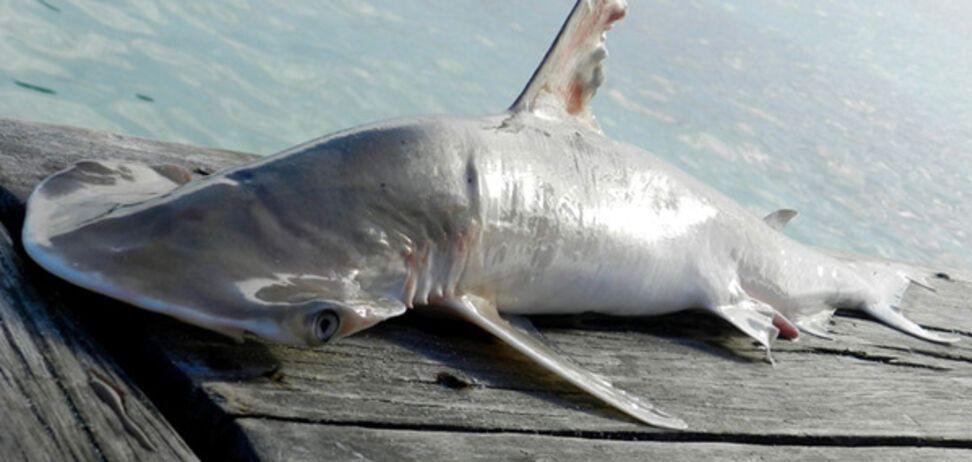 новый вид акулы-молота
