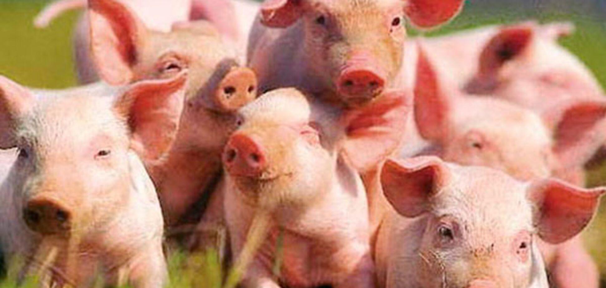 В области - очередная вспышка чумы свиней