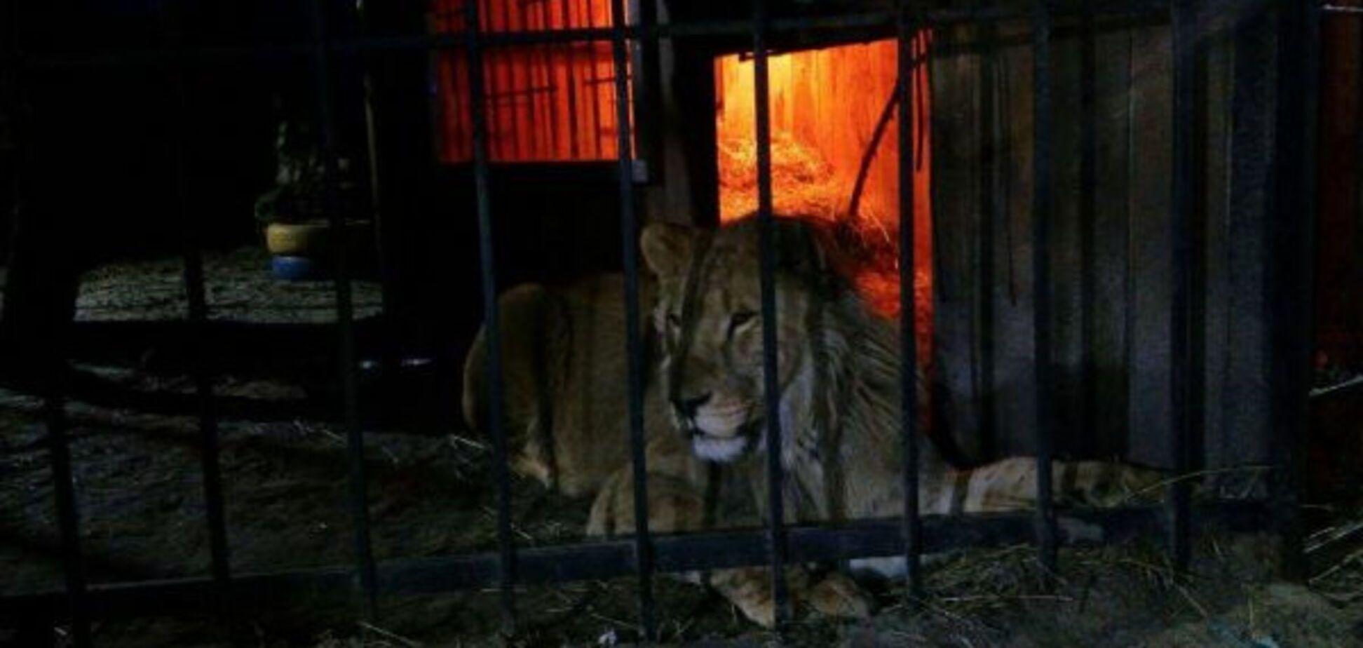 Отдыхающего в запорожской бане едва не разорвал лев (ФОТО)