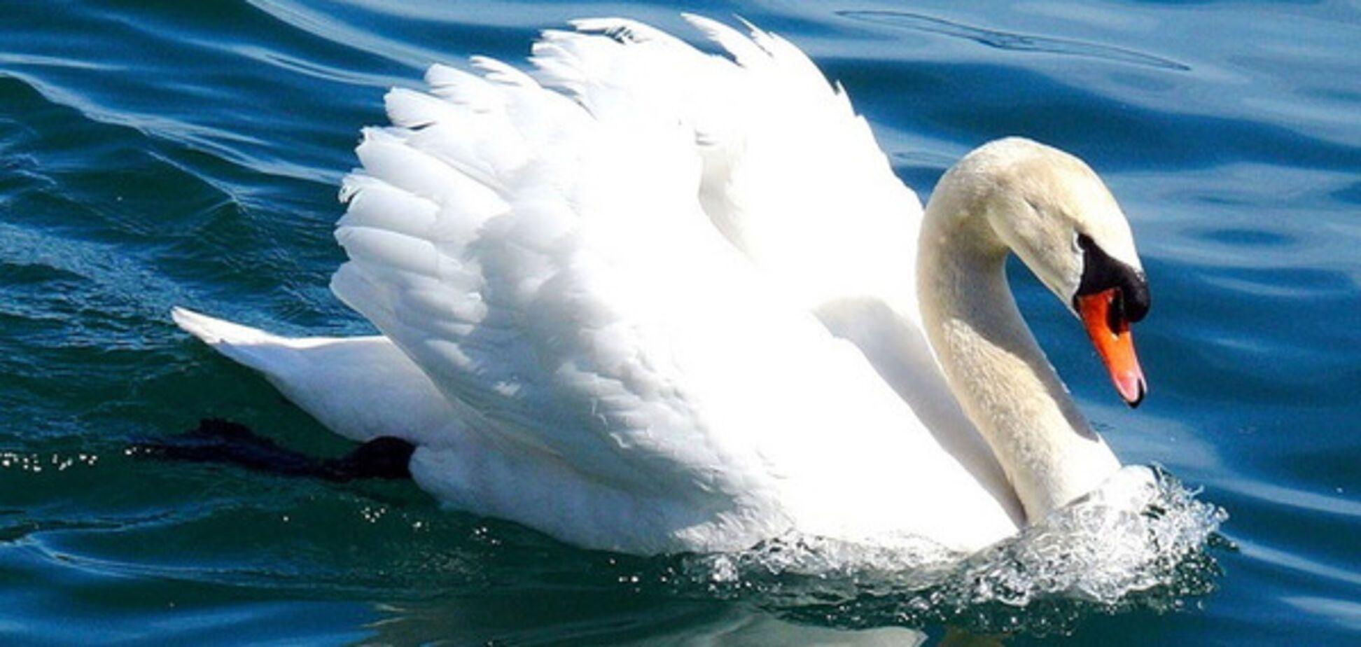 В запорожском парке неизвестные убили лебедя