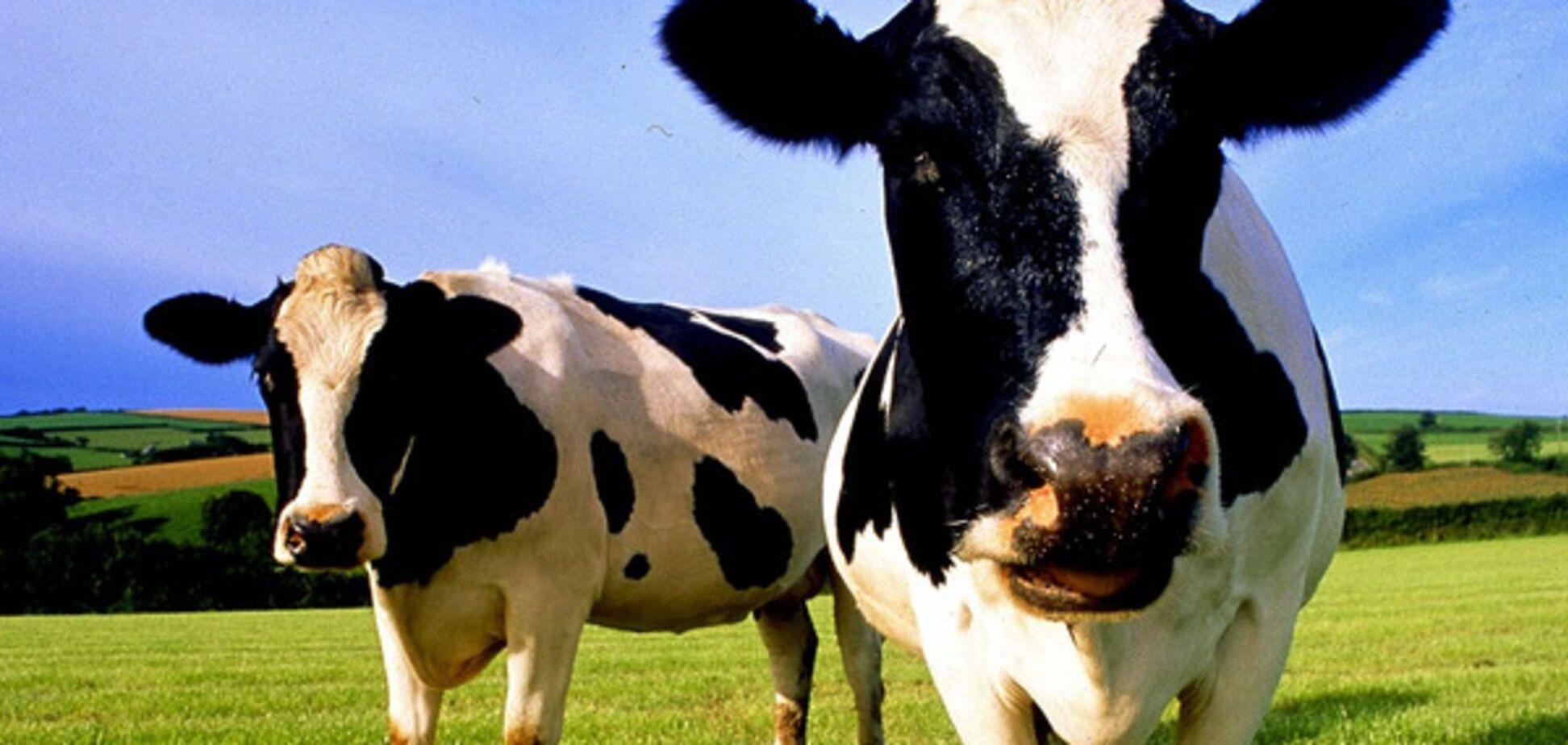 Фермер расстрелял двух коров