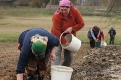 Посадка картофеля-2017: почему эта традиция так дорога украинцу