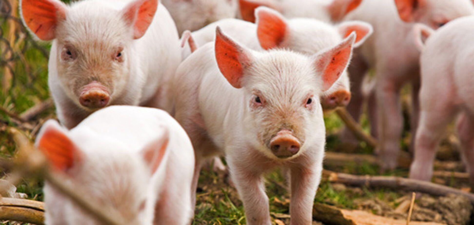 Лапа жестко раскритиковал Кабмин Гройсмана за слабость в борьбе с чумой свиней