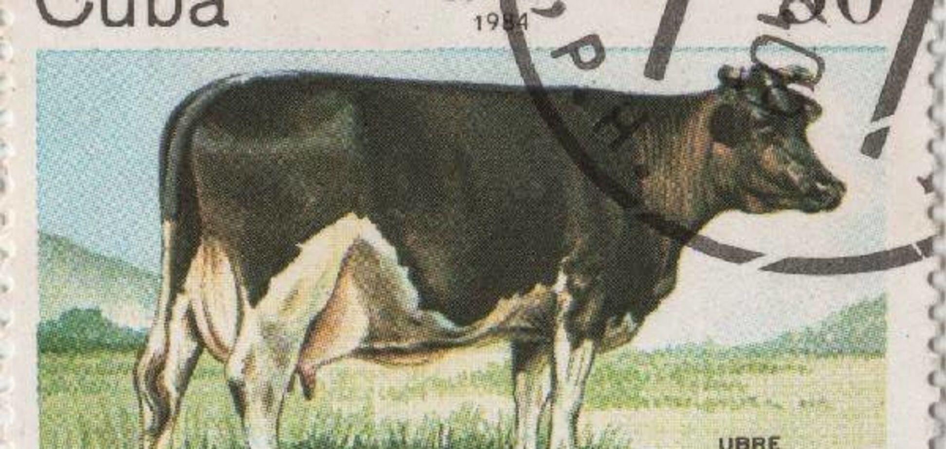 Белое Вымя, корова, Куба