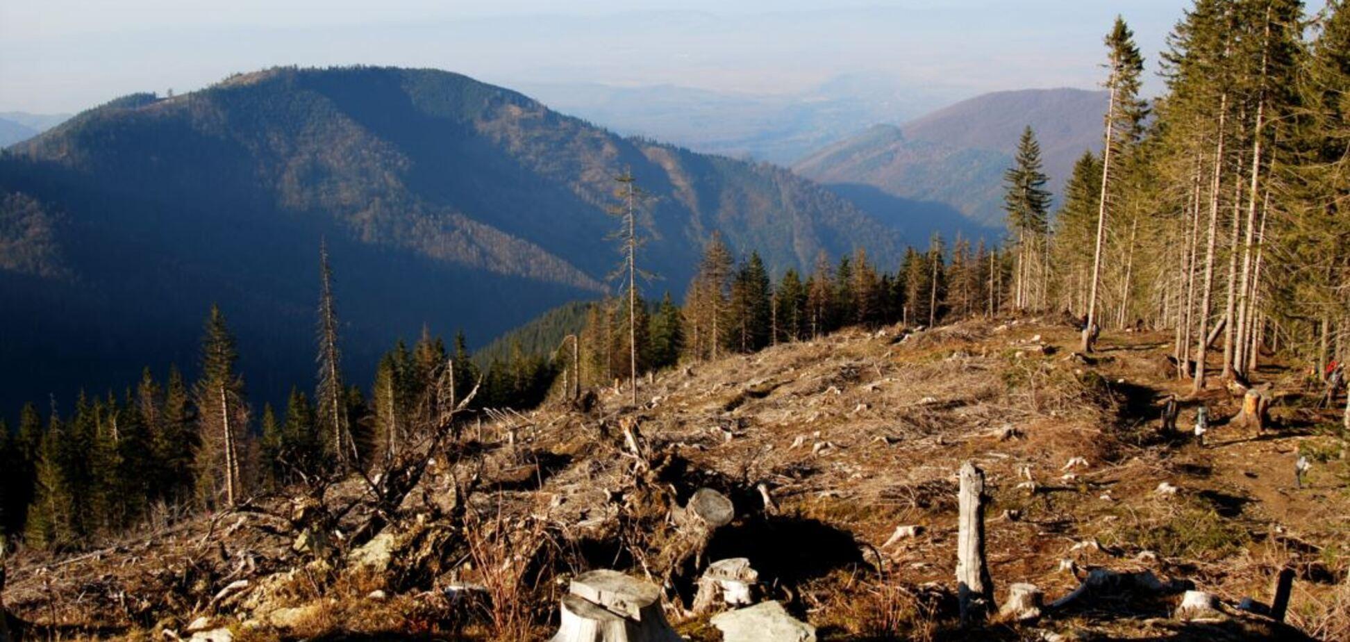Незаконна вирубка лісу в Україні: стало відомо, як з нею борються