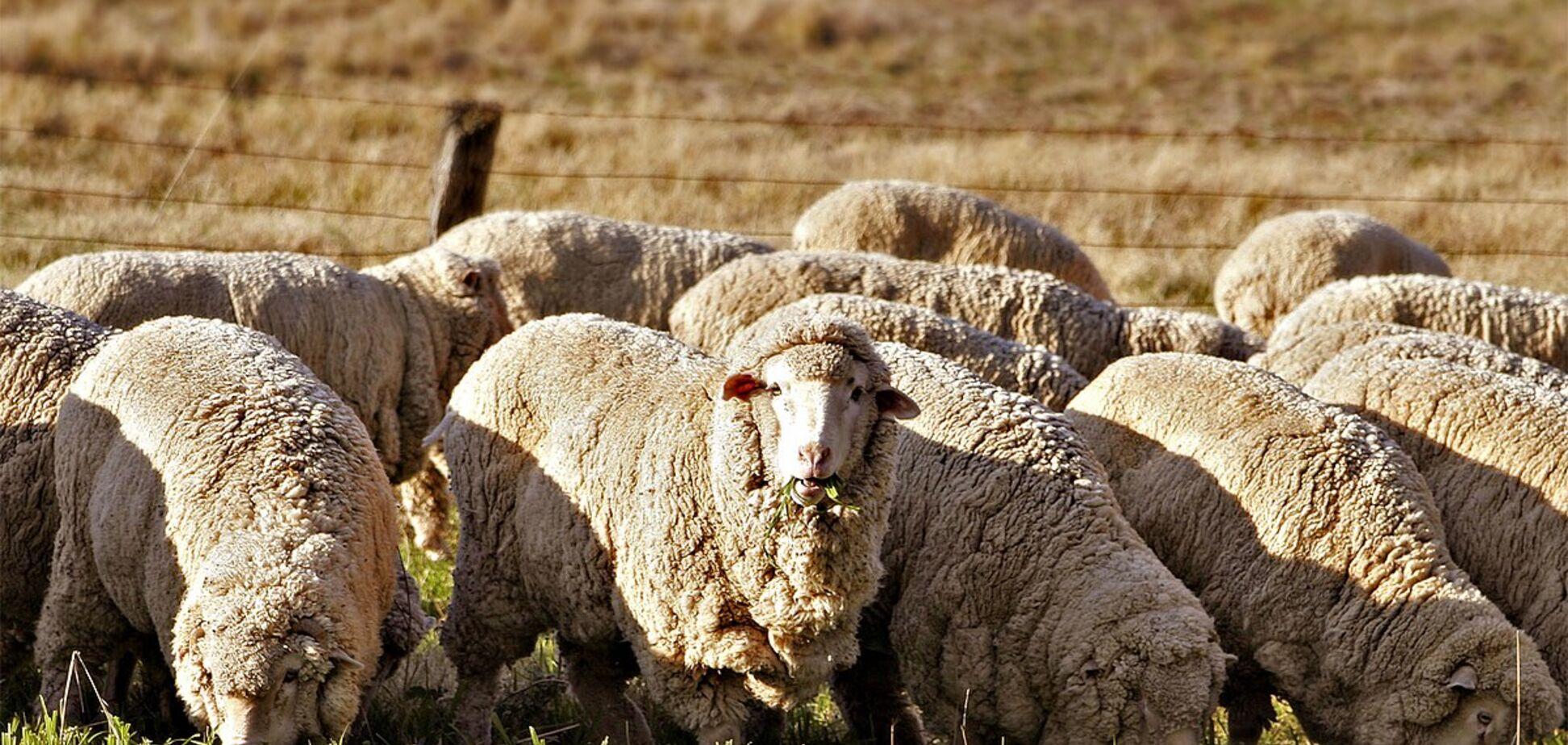Овцы база НАТО