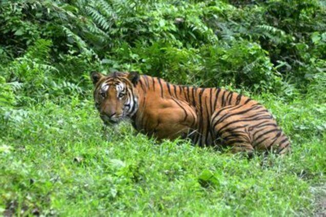 В США посетитель зоопарка полез в вольер к тигру за своими очками: видео