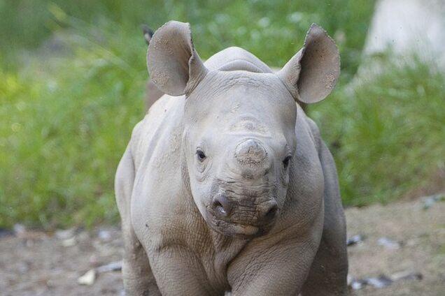 В США носорог укусил туриста