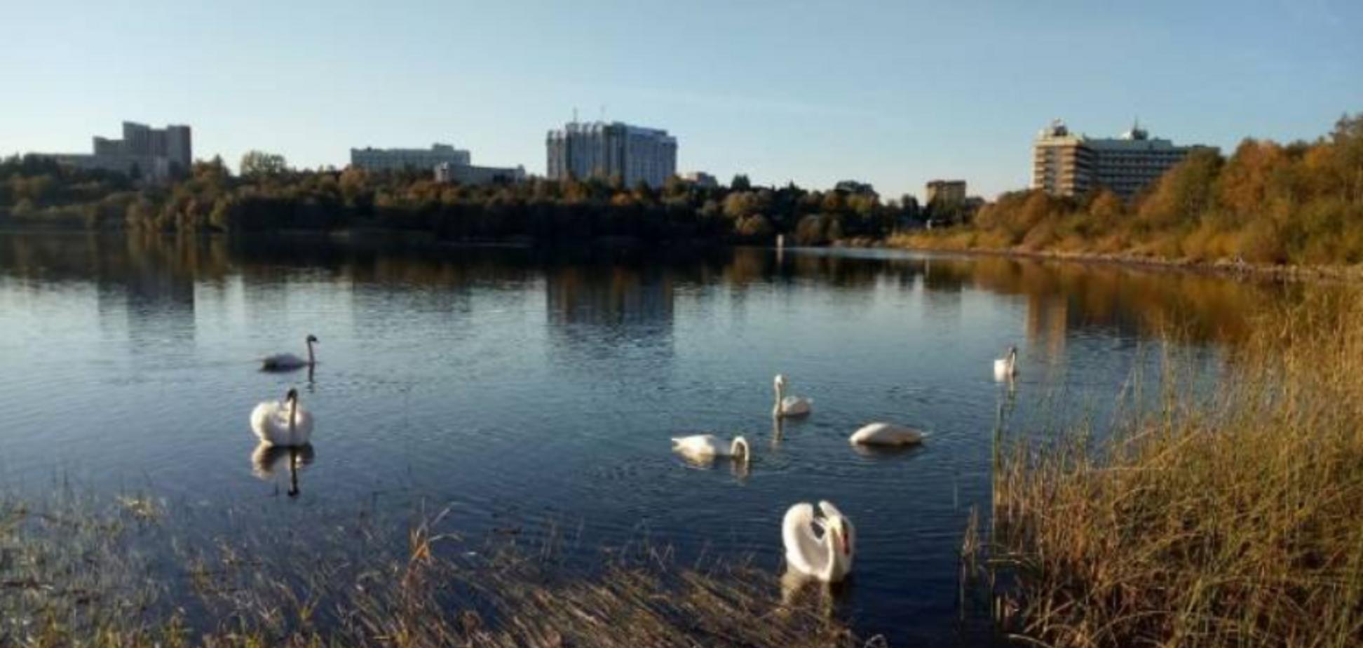 Лебедина зграя оселилась на одному із озер під Львовом: відео