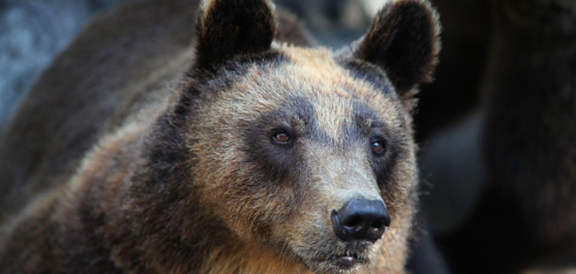 У Карпатах розлючений ведмідь напав на жінку: з'явилися деталі жахливої НП